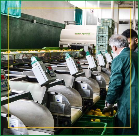 Consorzio Apam Torrenova - Calibratura Limoni