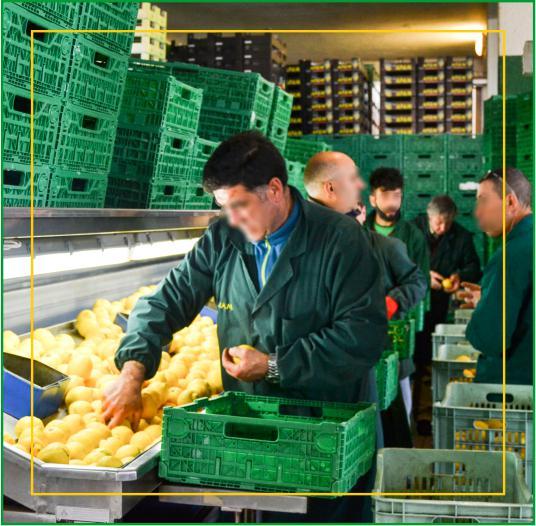 Consorzio Apam Torrenova - Selezione dei Limoni